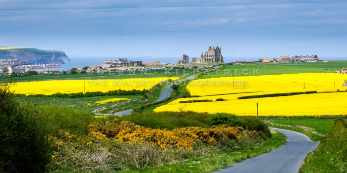 Whitby Abbey With Yellow Fields Of Spring