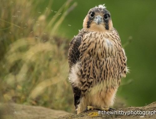 Whitby Peregrine Falcons – Nature never lets you in for long !!