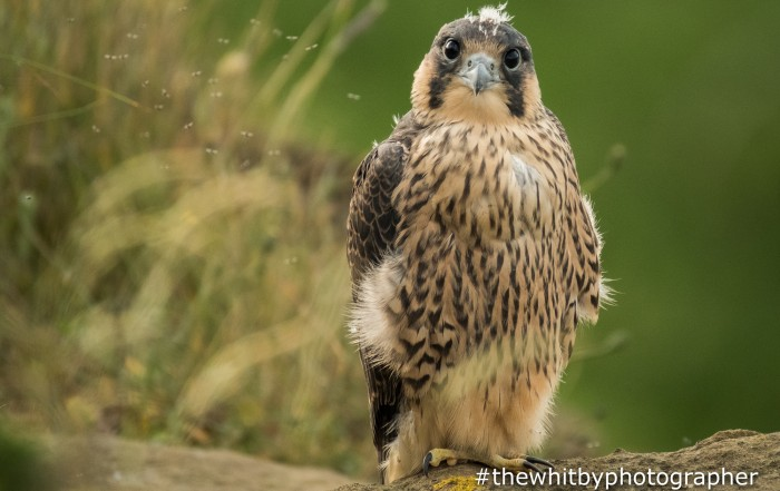 Whitby Peregrine Falcons. Peregrine Falcons Nesting On The Yorkshire Coast