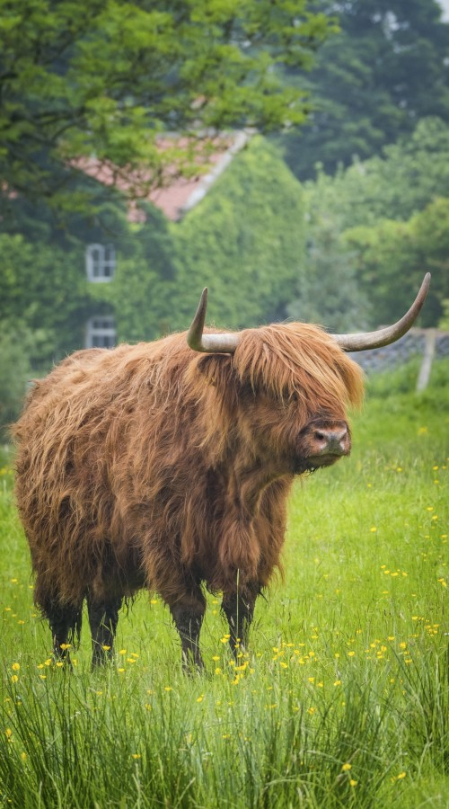 Whitby Phone Cases - Highland Cattle In The North York Moors National Park