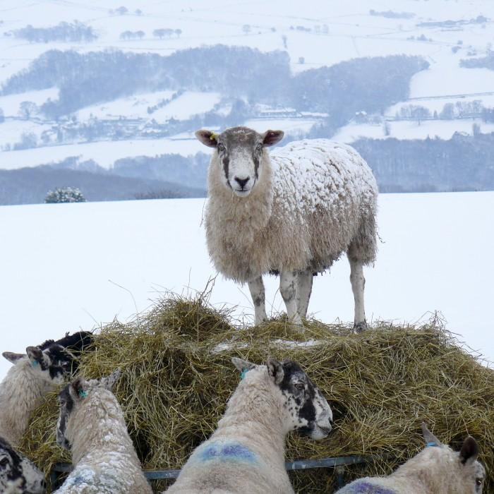 Egton Sheep in The Snow