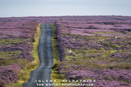 North-York-Moors-Heather-Bloom Photographed On The Rosedale Moor Above Egton Bridge.