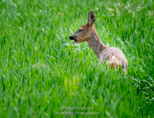 Deer At Cloughton Wyke – North Yorkshire.