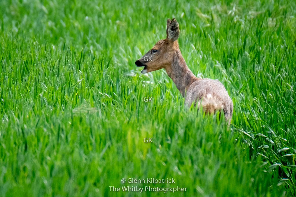 Roe Deer In North YorkshireAt Cloughton Wyke