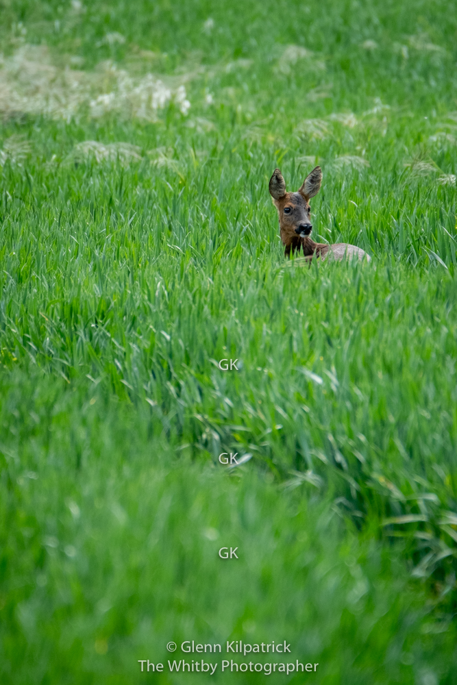 Roe Deer In North Yorkshire At Cloughton Wyke