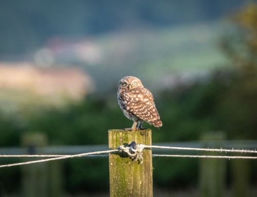 The Suicide Owl – Little Owls In The North York Moors