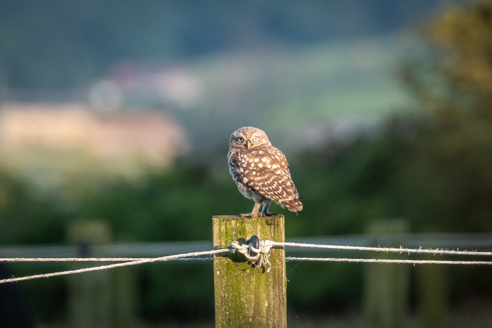 Little Owl In the North York Moors National Park