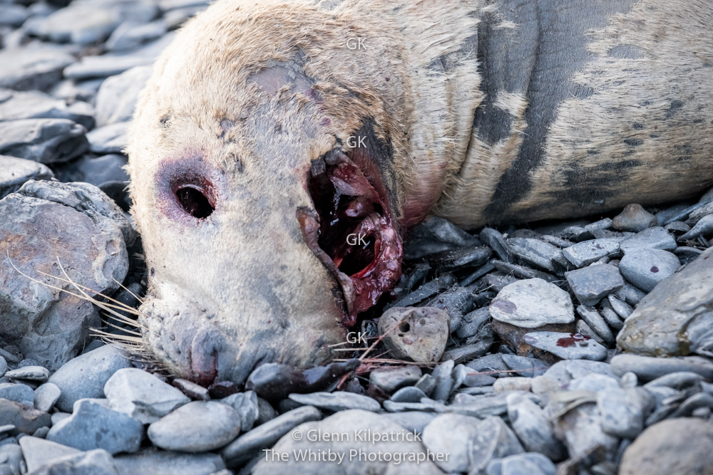 Sadly Their Are Always Deaths In Nature And Seals Pass Away Too. This One Looks Like The Local Gull Population Has Taken Its Eyes Not Long After Its Death.