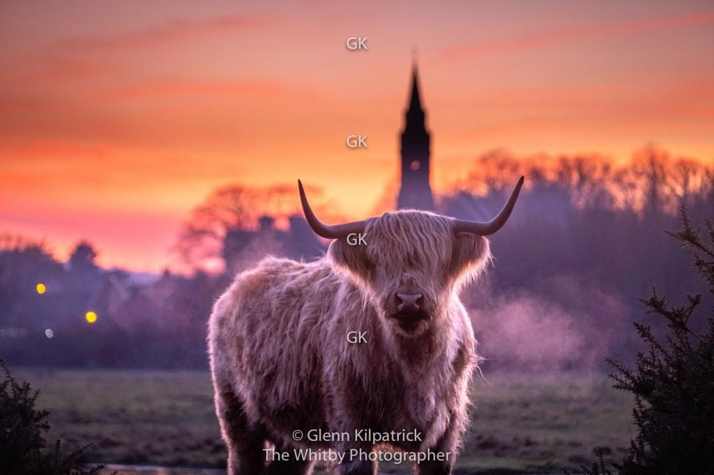 Highland Cattle With Ruswarp Church Behind.